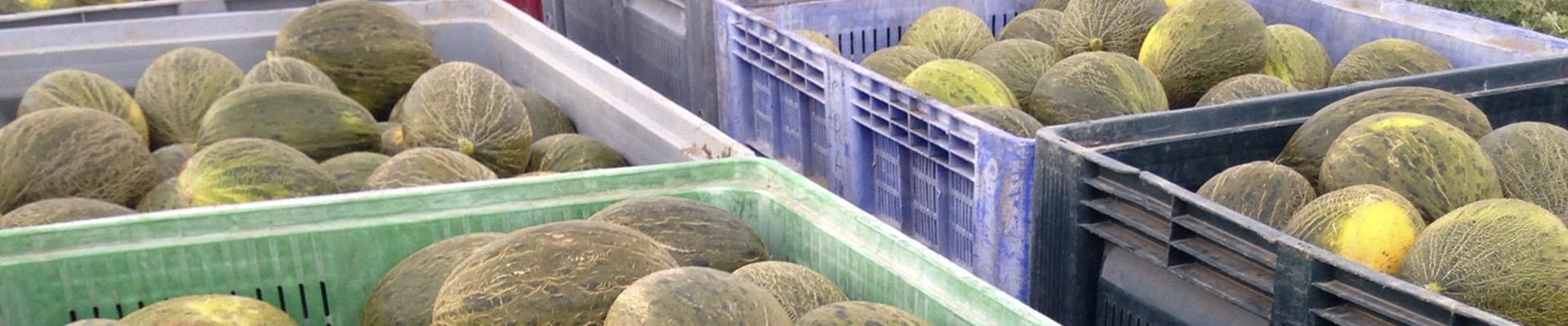 recolección de melon en cajas