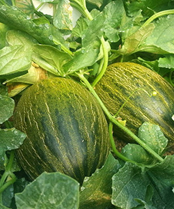 melon-fercan